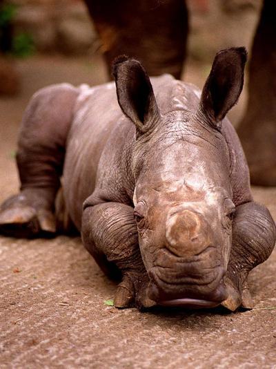 Otze the Rhinocerous Born at Edinburgh Zoo, June 1998--Photographic Print