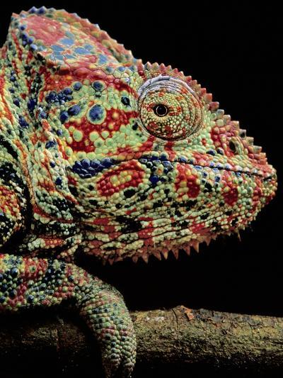 Oustalet's Chameleon, Furcifer Oustaleti, Madagascar-Frans Lanting-Photographic Print