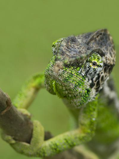 Oustalet's Chameleon on Branch, Madagascar-Edwin Giesbers-Photographic Print