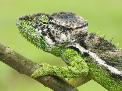 https://imgc.artprintimages.com/img/print/oustalet-s-chameleon-portrait-madagascar_u-l-q10o6xa0.jpg?p=0