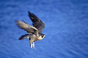 Peregrine Falcon In Flight by outdoorsman