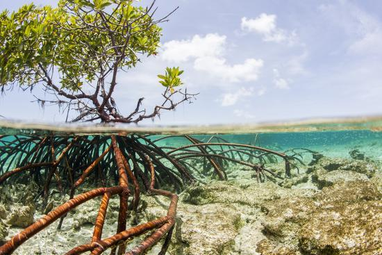 Over and under Water Photograph of a Mangrove Tree , Background Near Staniel Cay, Bahamas-James White-Photographic Print