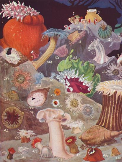 'Over Fifty Varieties of Sea Anemones', 1935-Unknown-Giclee Print