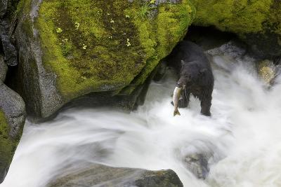 Overhead View of a Black Bear Catching a Pink Salmon in Anan Creek in Southeast Alaska-Design Pics Inc-Photographic Print