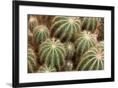 Overhead View of Balloon Cacti, Notocactus Magnificus-Darlyne A. Murawski-Framed Photographic Print
