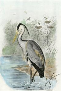 Oversize Common Heron