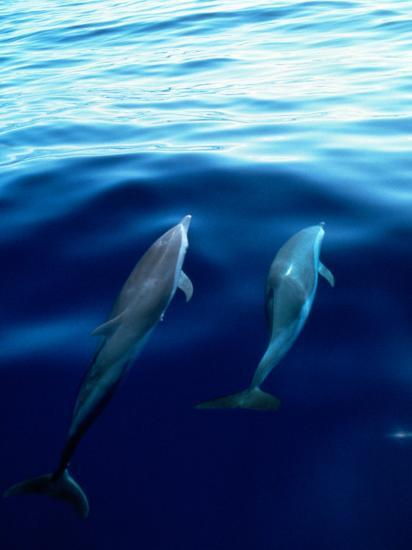Overview of Dolphins Swimming Underwater-Stuart Westmorland-Photographic Print
