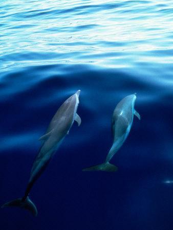https://imgc.artprintimages.com/img/print/overview-of-dolphins-swimming-underwater_u-l-p3haiz0.jpg?p=0