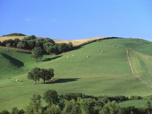 Cattle Grazing on Hillside by Owen Franken