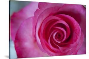 Closeup of a Beautiful Pink Rose by Owen Franken