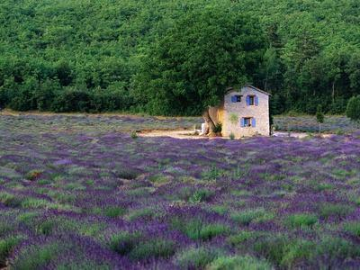 Cottage in Field of Lavender