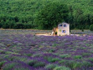 Cottage in Field of Lavender by Owen Franken
