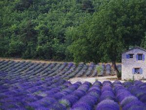 Fields of Lavender by Rustic Farmhouse by Owen Franken