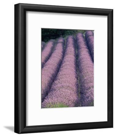 Rows of Lavender in Bloom