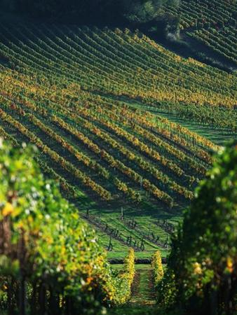 Vineyard in Entre-Deux-Mers Area