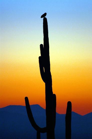 Owl at Sunset-Douglas Taylor-Photographic Print