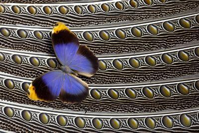Owl Butterfly on Argus Wing Feathers-Darrell Gulin-Photographic Print
