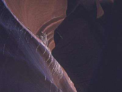 Owl in Antelope Canyon,Arizona-David Edwards-Photographic Print