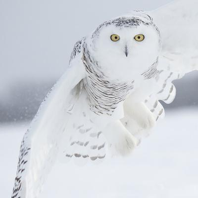 https://imgc.artprintimages.com/img/print/owl-in-flight-i_u-l-q11b1ff0.jpg?p=0