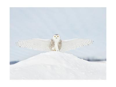 Owl in Flight III-PHBurchett-Art Print