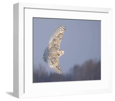 Owl in Flight V-PHBurchett-Framed Art Print