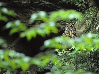 Owl in Woodland, Sachsische Schweiz National Park, Germany-Norbert Rosing-Photographic Print