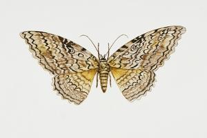 Owl Moth or White Witch (Thysania Agrippina), Noctuidae, Artwork by Tim Hayward