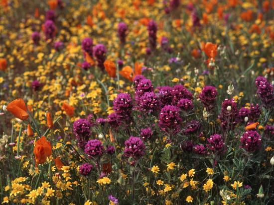 Owl's Clover, Coreopsis, California Poppy Flowers at Antelope Valley, California, USA-Stuart Westmorland-Photographic Print