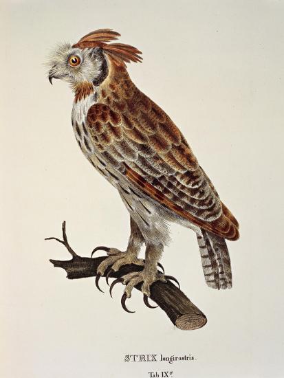 Owl Strix Longirostris,--Giclee Print