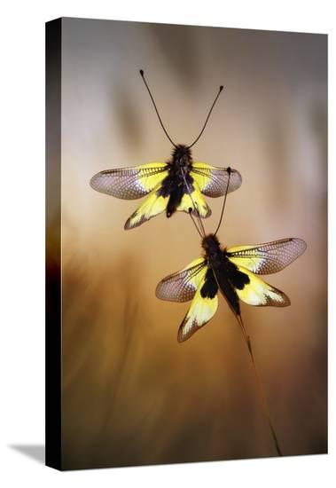 Owlflies-Jimmy Hoffman-Stretched Canvas Print