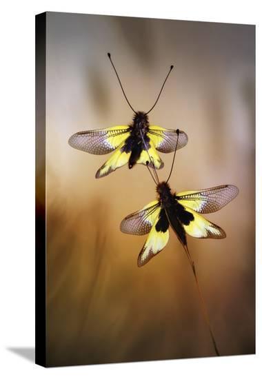 Owlflies-Jimmy Hoffman-Stretched Canvas Print