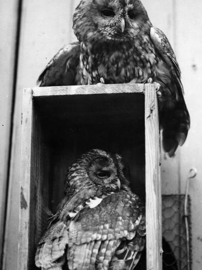 Owls Sleep--Photographic Print