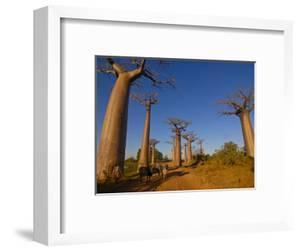 Ox Cart at the Avenue De Baobabs at Sunrise, Madagascar, Africa