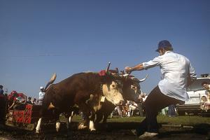 Ox Pull, Ox and Scallop Festival, Lunenberg, Nova Scotia, Canada