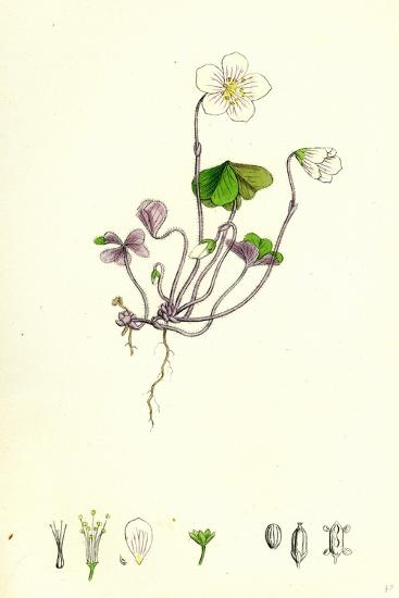 Oxalis Acetosella Wood Sorrel--Giclee Print