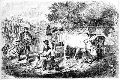 Oxen Hauling Corn, 19th Century-Edwin Forbes-Giclee Print