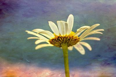 https://imgc.artprintimages.com/img/print/oxeye-daisy-composite-with-textured-background_u-l-q13cdp60.jpg?p=0