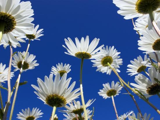 Oxeye Daisy Flowers, Cornwall, UK-Ross Hoddinott-Photographic Print