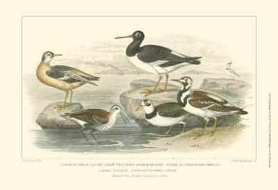 Oyster Catchers-Julius Stewart-Art Print