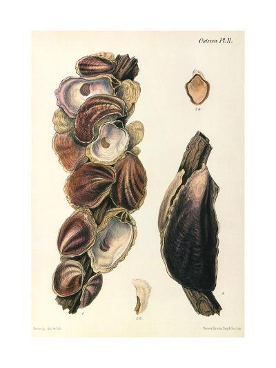 Oyster Shells, 1870--Giclee Print