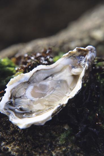 Oyster-Veronique Leplat-Photographic Print