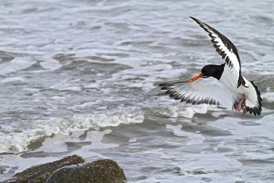 Oystercatcher Landing on Rock--Photographic Print