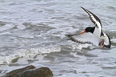 Oystercatcher Landing on Rock