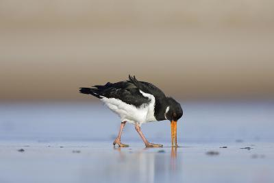 Oystercatcher Probing into the Sand for a Worm--Photographic Print