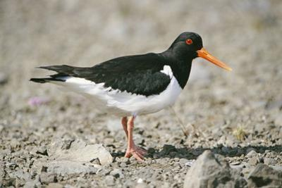 Oystercatcher Side View, on Rocky Shore
