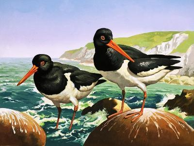 Oystercatchers, Illustration from Once Upon a Time--Giclee Print