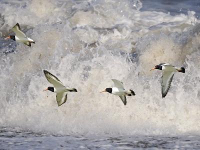 Oystercatchers in Flight over Breaking Surf, Norfolk, UK, December-Gary Smith-Photographic Print