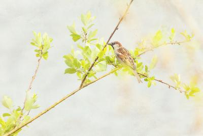 P Dometicus-Roberta Murray-Photographic Print