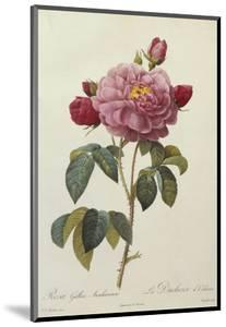 Rosa Gallica Aureliansis - La Duchesse D'Orleans. from 'Les Roses' by P.J. and C.A. Redoute and Thory