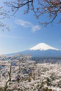 Blossoming Cherry Trees in the Hills of Fujiyoshida in Front of Snowy Mount Fuji by P. Kaczynski